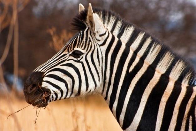 Zebra fechar-se