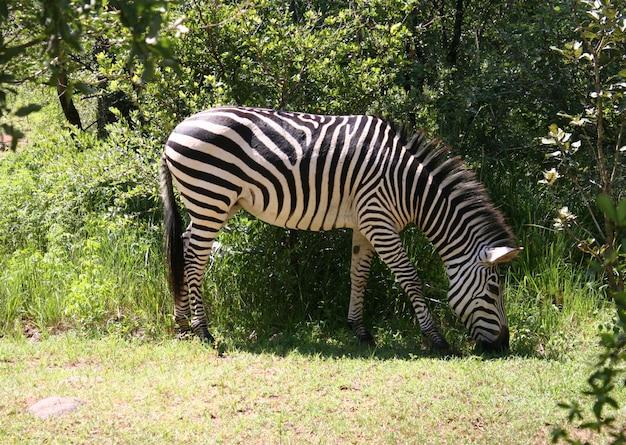 Zebra na áfrica