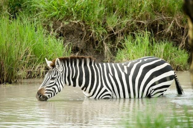 Zebra na água