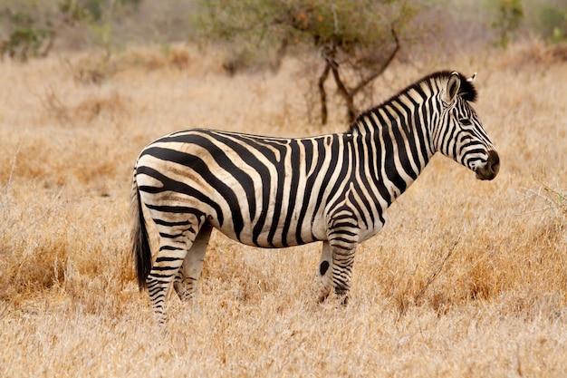 Zebra na savana de grama da áfrica do sul