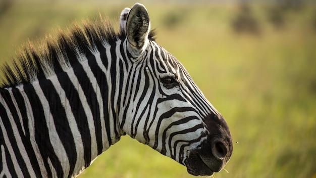 Zebra na selva, áfrica