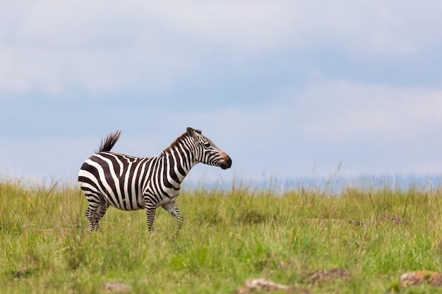 Zebra navegando em um prado na paisagem de grama