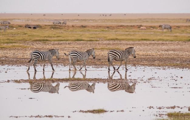 Zebra no parque nacional