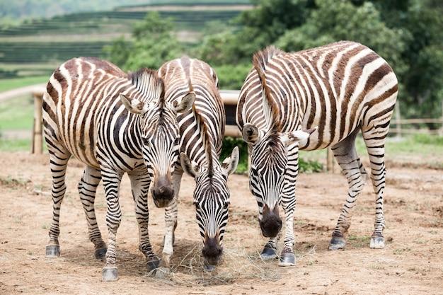 Zebra nos campos