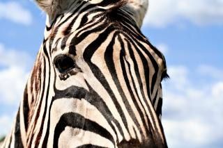 Zebra olhar perfil