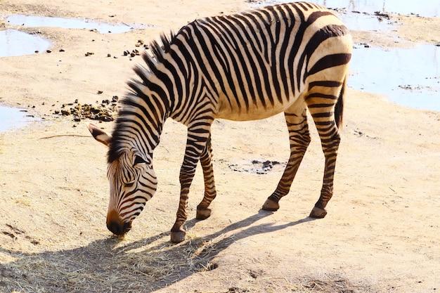 Zebra pastando cercada por água durante o dia