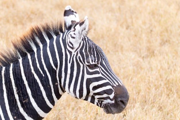 Zebra perto da cratera da área de conservação de ngorongoro, na tanzânia