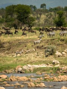 Zebras e gnus no serengeti, tanzânia, áfrica