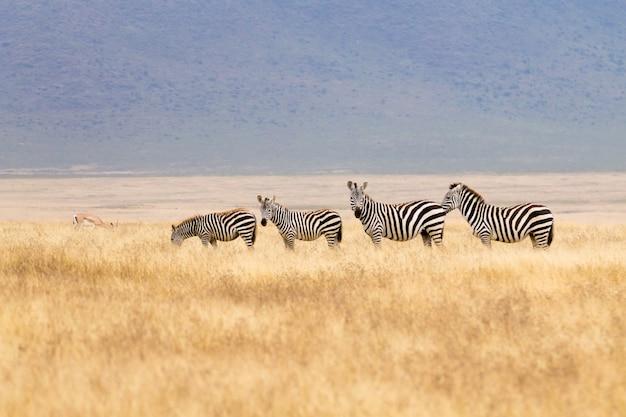 Zebras em uma fileira na cratera da área de conservação de ngorongoro, na tanzânia