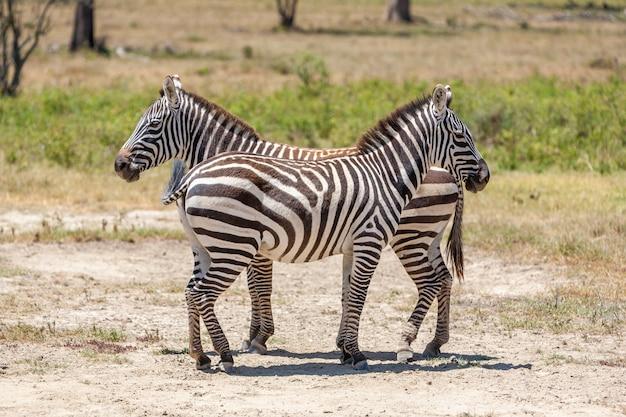 Zebras nas pastagens