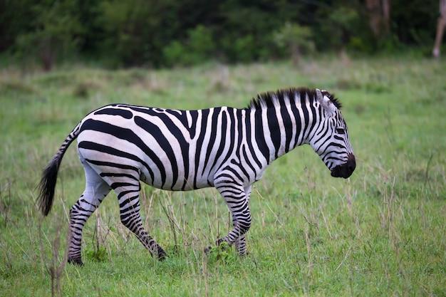 Zebras no meio da savana do quênia