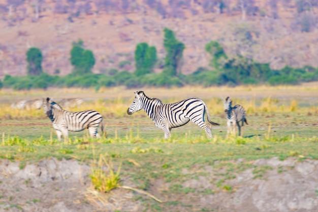 Zebras no parque nacional de chobe, botswana. wildlife safari nos parques nacionais africanos e reservas de vida selvagem.