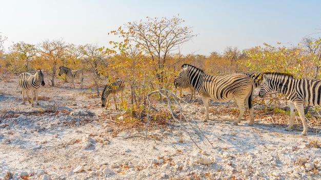 Zebras no parque nacional