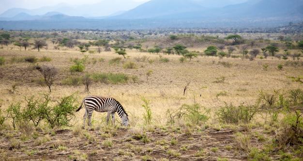 Zebras pastam na savana do quênia