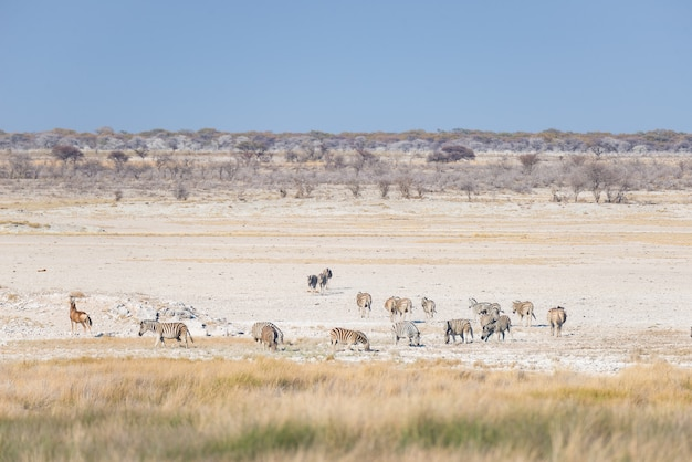 Zebras que pastam no arbusto, savana africana. safari da vida selvagem, parque nacional etosha, reservas de vida selvagem, namíbia, áfrica.