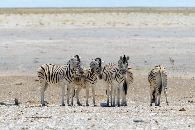 Zebras selvagens andando na savana africana