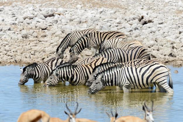 Zebras selvagens bebendo água no poço de água na savana africana