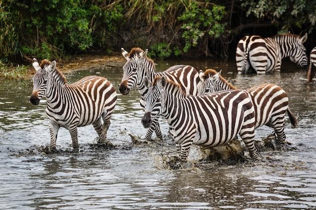 Zebras selvagens cruzam um rio