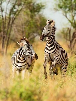 Zebras selvagens na natureza