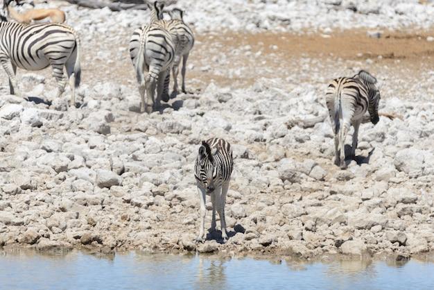 Zebras selvagens no poço de água na savana africana
