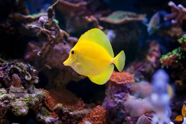 Zebrasoma flavescens no aquário de recifes de corais em casa.