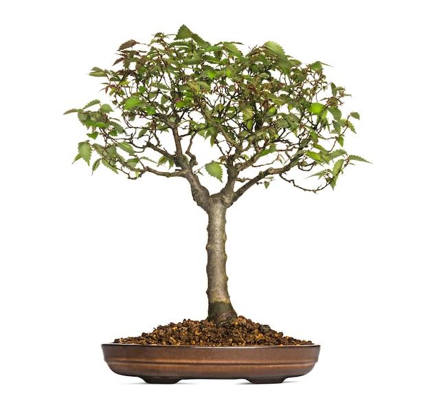 Zelkova serrata, árvore bonsai, isolada no branco