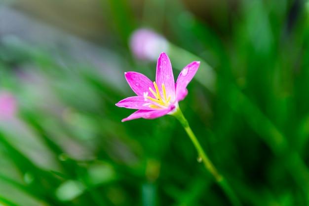 Zephyranthes ou rain lily uma linda flor rosa