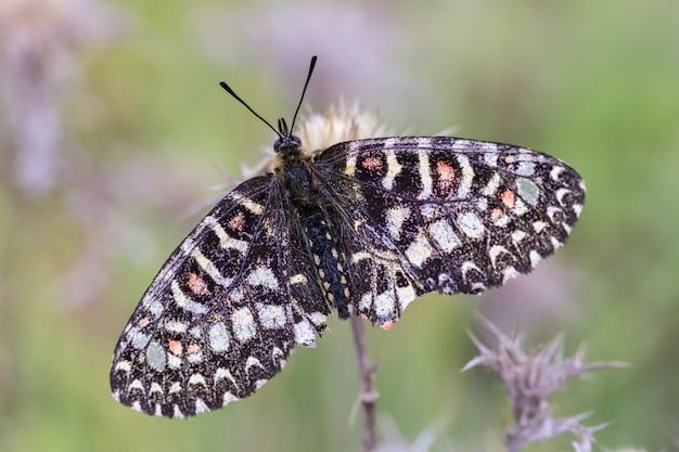 Zerynthia rumina. borboleta em seu ambiente natural