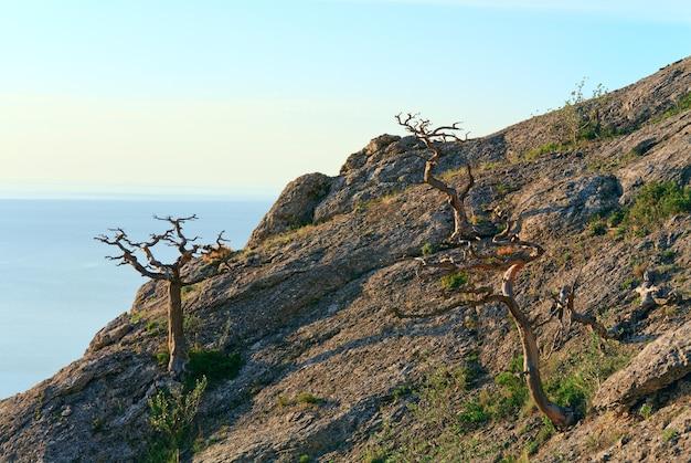 Zimbro murcho na encosta da montanha (reserva