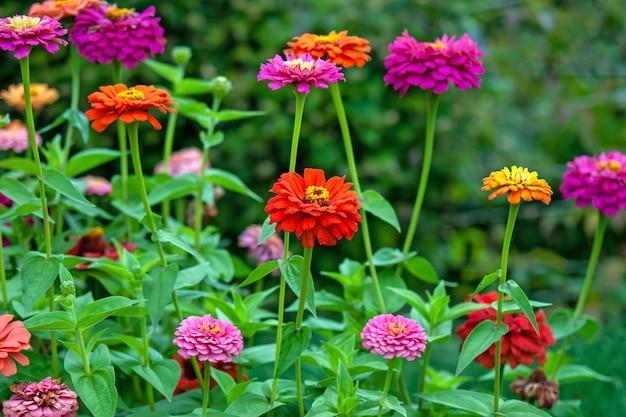 Zínias de todas as cores florescendo no jardim de verão