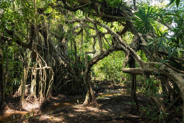 100 jahre alter banyanbaumwald im frühjahr des kleinen amazonas am sang nae-kanal, phang nga, thailand. berühmtes reiseziel.