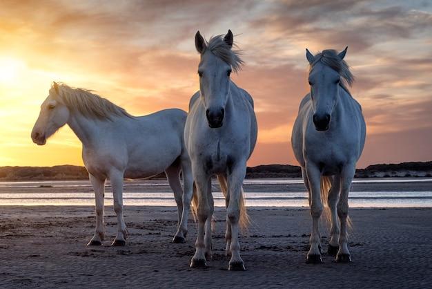 28 / 04/2019: trois chevaux blancs camarguais en liberte sur la plage vers les saintes maries de la mer en frankreich