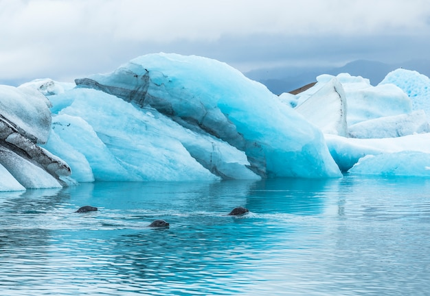 3 robben schwimmen im august im zugefrorenen jökulsárlón-see. island