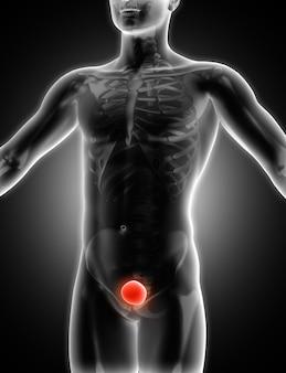 3d übertragen von einem medizinischen bild einer männlichen figur mit blase hervorgehoben