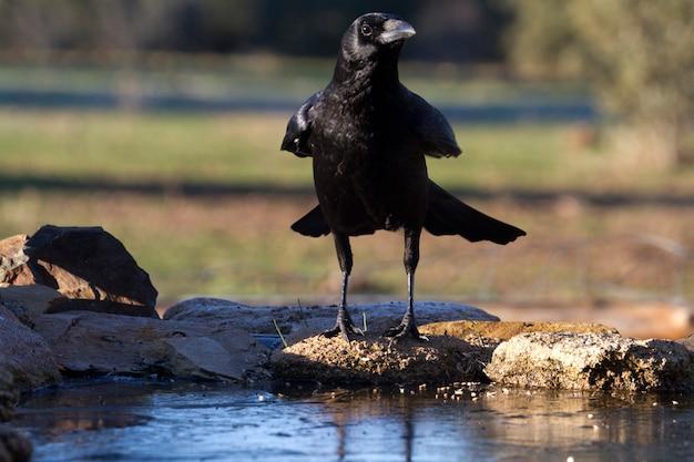 Aaskrähe mit den ersten lichtern des tages, rabe, krähe, vogel, corvus corone