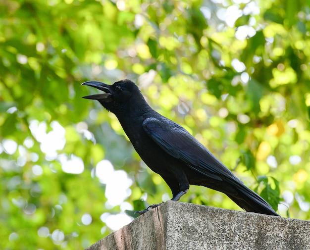 Aaskrähe mit offenem mund des baumnatur-grünhintergrund- / krähenschwarzvogel-anrufs - corvus corone