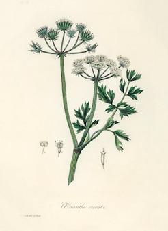 Abbildung von wassertropfen (onanthe grocata) aus der medizinischen botanik (1836)