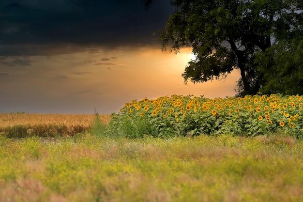 Abendfoto von einem kleinen wald und einem blühenden sonnenblumenfeld vor dem hintergrund der untergehenden sonne