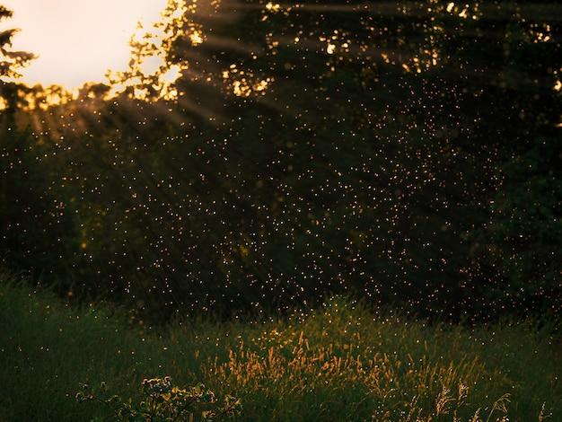 Abends fliegen mückenschwärme im sonnenuntergangslicht