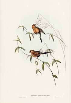 Abgedeckter grasfink (poephila personata) illustriert von elizabeth gould