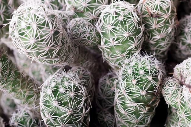 Abschluss des selektiven fokus herauf draufsicht schoss auf kaktus.