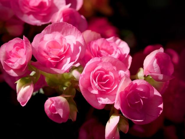 Abschluss herauf rosa begonie auf schwarzem hintergrund haben kopienraum für gelegten text