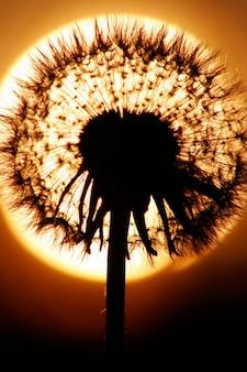 Abschluss herauf schattenbild des löwenzahns, sonnenuntergang ist sonne auf hintergrund. warme sommerfarben.