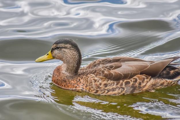Abschluss herauf schöne ente schwimmt im windermere see, nachdem er geregnet hat, windermere.