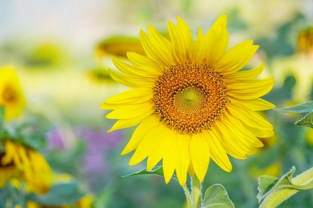 Abschluss herauf sonnenblumen mit weichem unscharfem grünem hintergrund