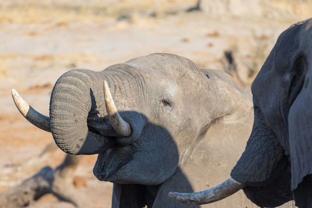 Abschluss hoch und portrait eines jungen afrikanischen elefanten, der vom waterhole trinkt
