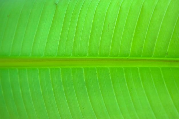 Abschluss oben auf grünem bananenblatt, kann für hintergrund oder beschaffenheit verwenden
