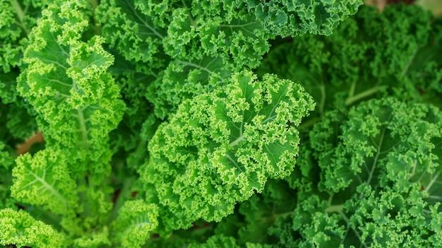 Abschluss oben der grünen grünkohlanlage in einem gemüsegarten.