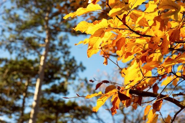 Abschluss oben des gelben herbstlaubs in einem park