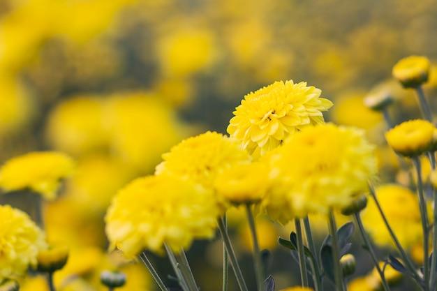 Abschluss oben des gelben ringelblumen- und unschärfehintergrundes